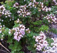 Naturopathie-Phytothérapie-Origan-fleuri