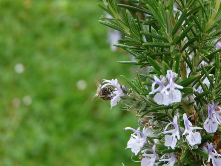 Romarin fleurs abeille flavie dode Naturopathie Réflexologies