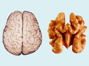 Cerveau Vs Noix