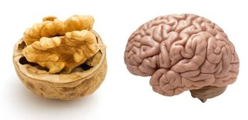 Noix Vs Cerveau