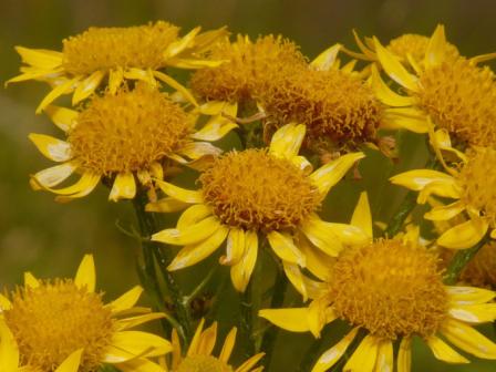 arnica montana huile végétale Flavie Dode Naturopathie