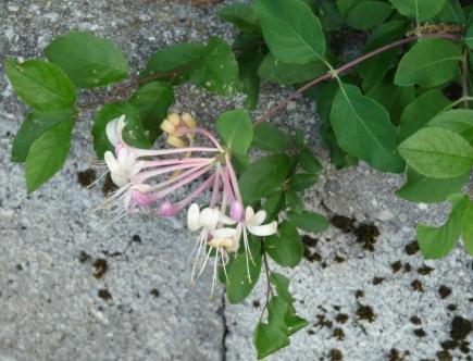 Fleurs de Bach Honeysuckle Chèvrefeuille