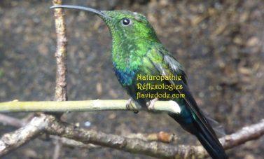 Colibri Reiki Animal Flavie Dode Naturopathie Réflexologies Bien-être