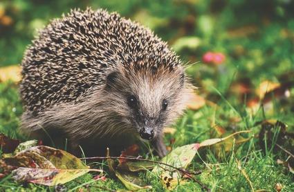 Hérisson Reiki Animal Flavie Dode Naturopathie Réflexologies Bien-être